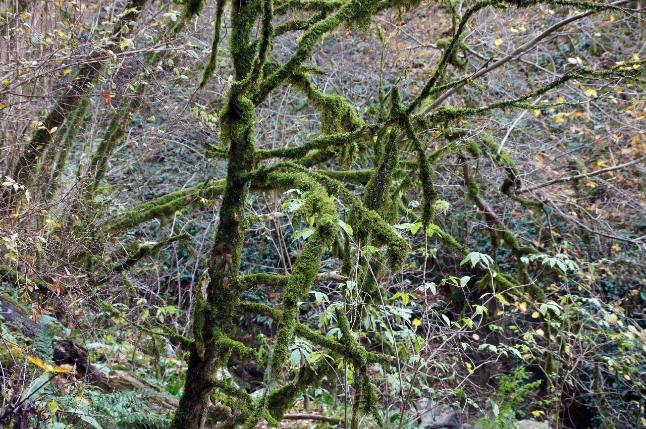 Тисо-самшитовая роща в Национальном парке Сочи, фото https://nashaplaneta.net/